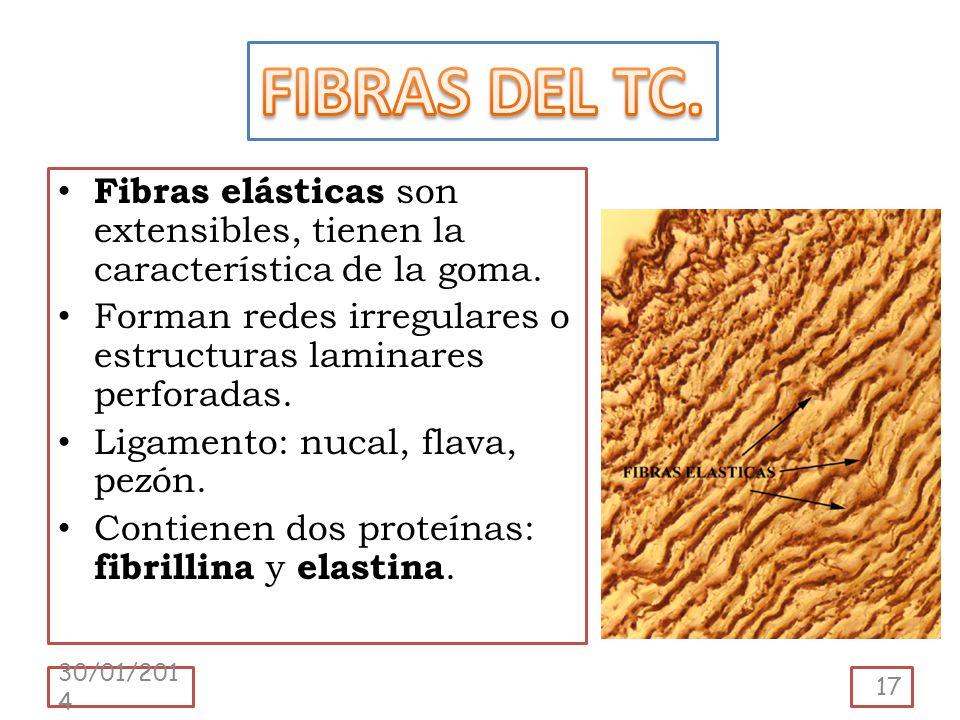 Fibras elásticas son extensibles, tienen la característica de la goma. Forman redes irregulares o estructuras laminares perforadas. Ligamento: nucal,