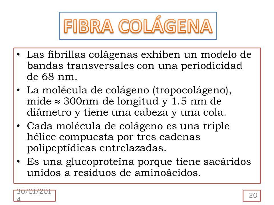 Las fibrillas colágenas exhiben un modelo de bandas transversales con una periodicidad de 68 nm. La molécula de colágeno (tropocolágeno), mide 300nm d