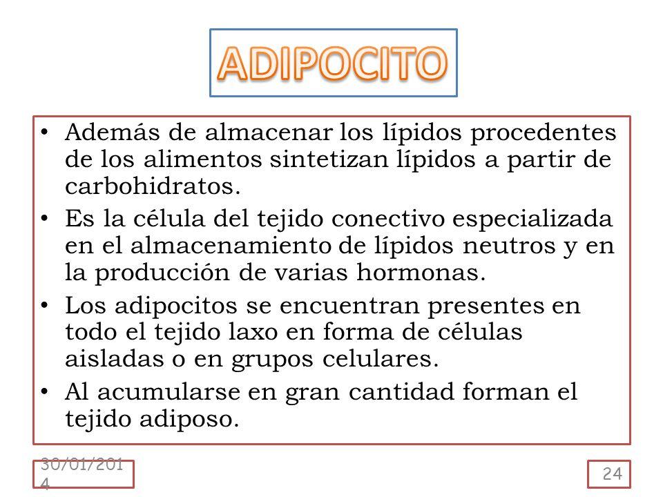 Además de almacenar los lípidos procedentes de los alimentos sintetizan lípidos a partir de carbohidratos. Es la célula del tejido conectivo especiali