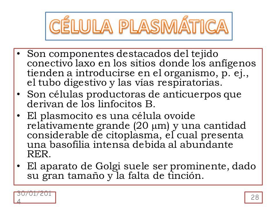 Son componentes destacados del tejido conectivo laxo en los sitios donde los anfígenos tienden a introducirse en el organismo, p. ej., el tubo digesti