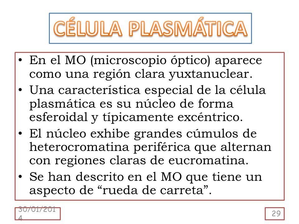 En el MO (microscopio óptico) aparece como una región clara yuxtanuclear. Una característica especial de la célula plasmática es su núcleo de forma es