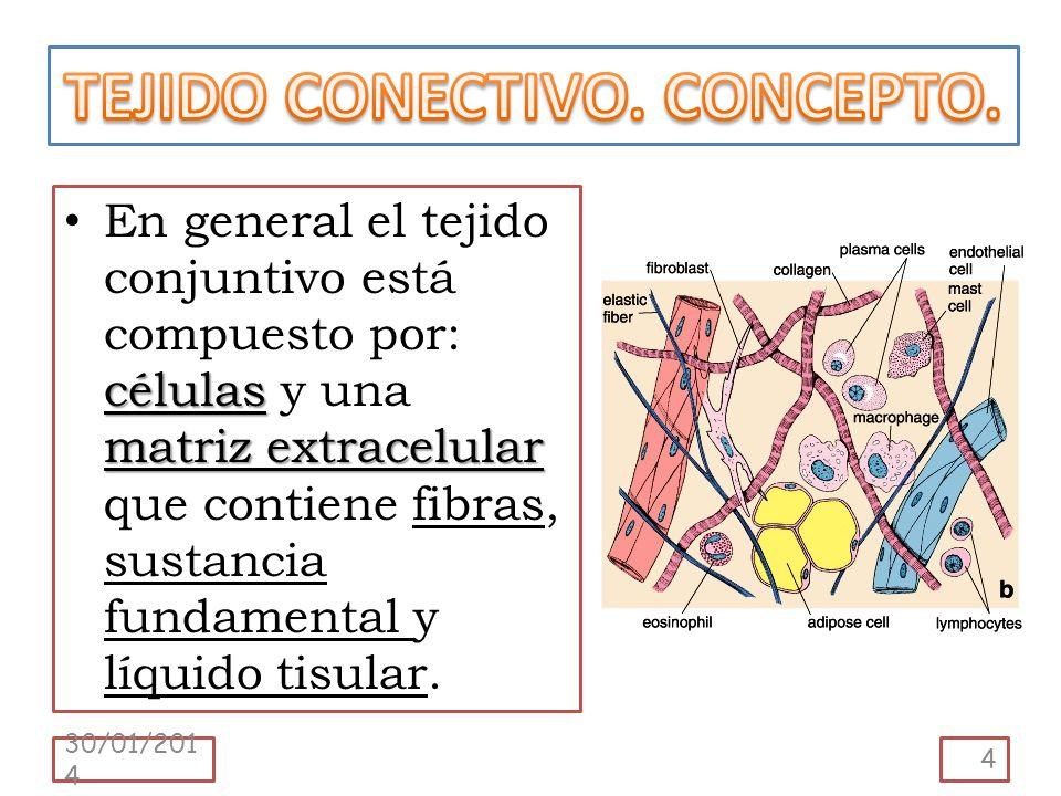 células matriz extracelular En general el tejido conjuntivo está compuesto por: células y una matriz extracelular que contiene fibras, sustancia funda