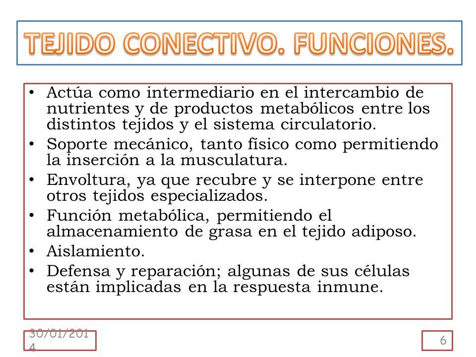 Actúa como intermediario en el intercambio de nutrientes y de productos metabólicos entre los distintos tejidos y el sistema circulatorio. Soporte mec