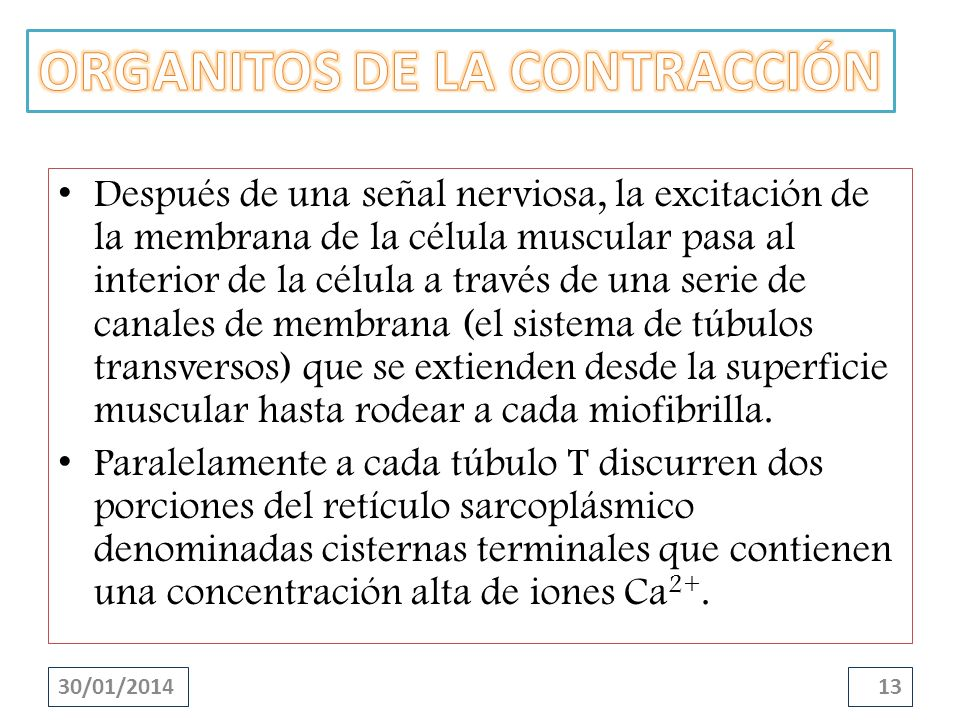 30/01/201413 Después de una señal nerviosa, la excitación de la membrana de la célula muscular pasa al interior de la célula a través de una serie de