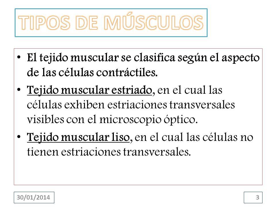 El tejido muscular se clasifica según el aspecto de las células contráctiles. Tejido muscular estriado, en el cual las células exhiben estriaciones tr