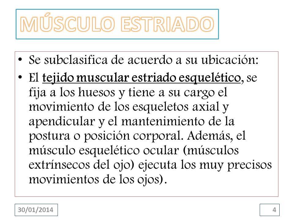 Se subclasifica de acuerdo a su ubicación: El tejido muscular estriado esquelético, se fija a los huesos y tiene a su cargo el movimiento de los esque