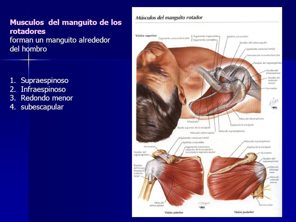 1.Supraespinoso 2.Infraespinoso 3.Redondo menor 4.subescapular Musculos del manguito de los rotadores forman un manguito alrededor del hombro