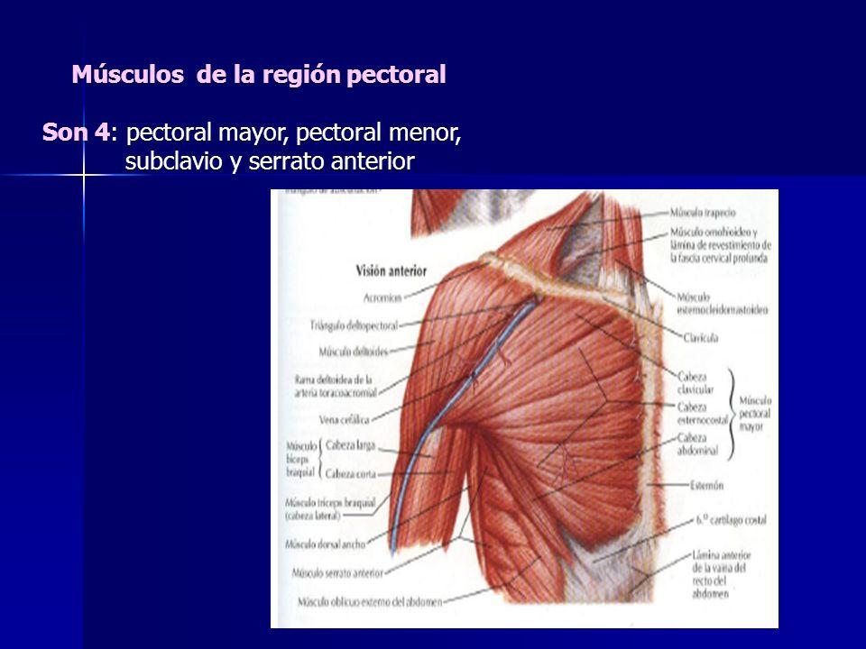 Músculos de la región pectoral Son 4: pectoral mayor, pectoral menor, subclavio y serrato anterior subclavio y serrato anterior
