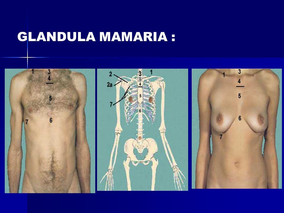 GLANDULA MAMARIA :
