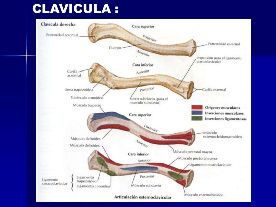 CLAVICULA :