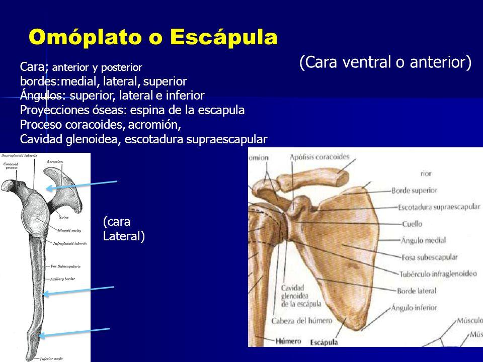 Omóplato o Escápula (Cara ventral o anterior) Cara; anterior y posterior bordes:medial, lateral, superior Ángulos: superior, lateral e inferior Proyec