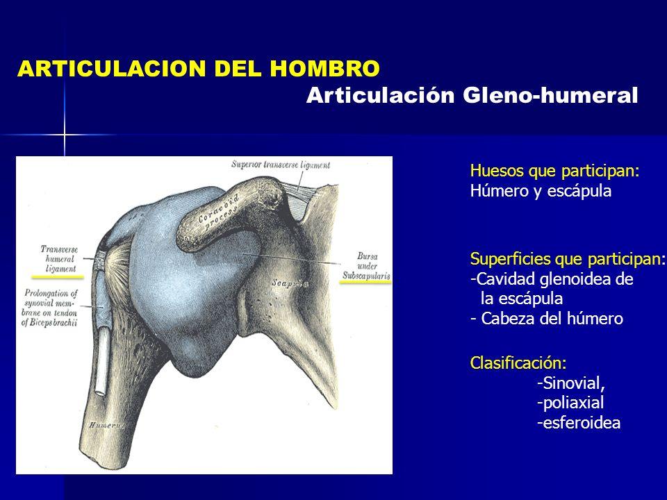 ARTICULACION DEL HOMBRO Articulación Gleno-humeral Clasificación: -Sinovial, -poliaxial -esferoidea Huesos que participan: Húmero y escápula Superfici