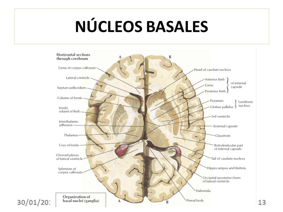 NÚCLEOS BASALES 30/01/201413