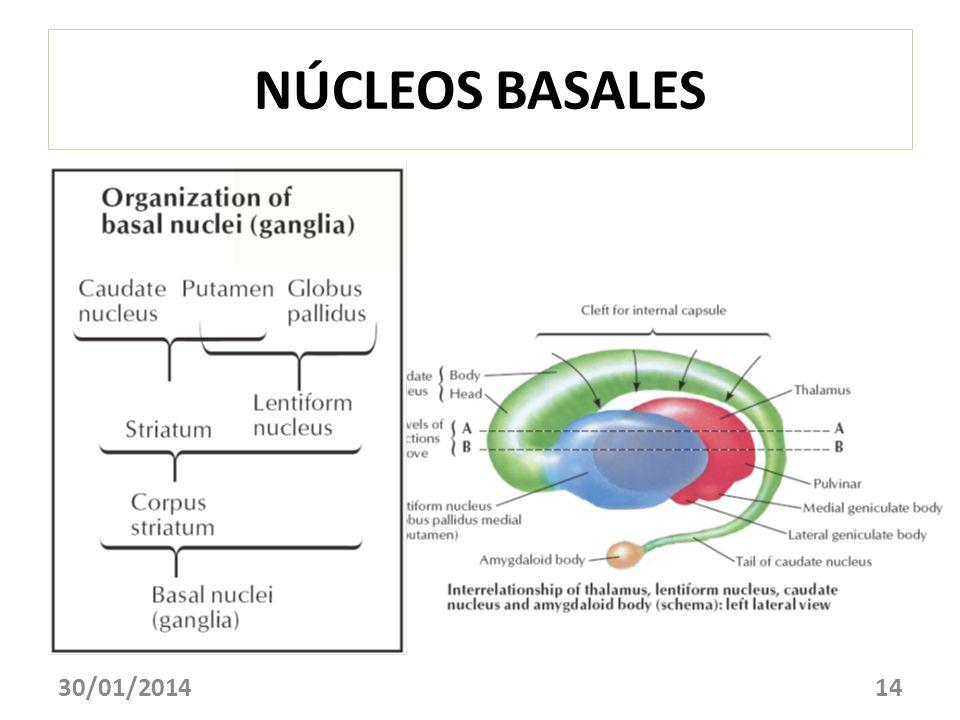 NÚCLEOS BASALES 30/01/201414