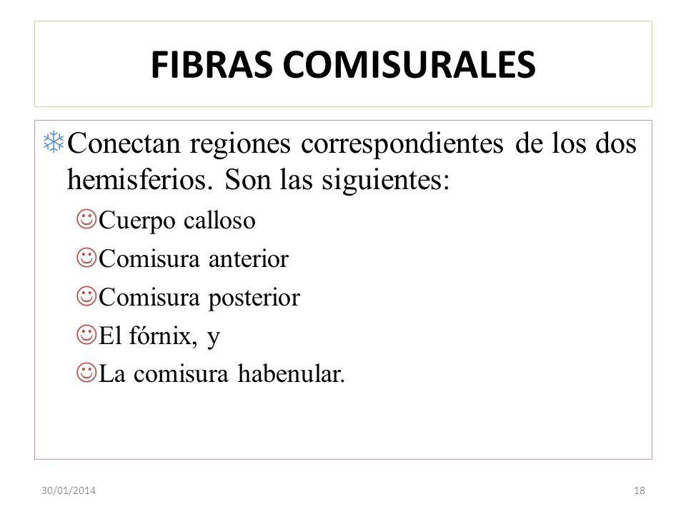 FIBRAS COMISURALES Conectan regiones correspondientes de los dos hemisferios. Son las siguientes: Cuerpo calloso Comisura anterior Comisura posterior