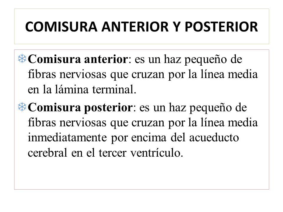 COMISURA ANTERIOR Y POSTERIOR Comisura anterior: es un haz pequeño de fibras nerviosas que cruzan por la línea media en la lámina terminal. Comisura p