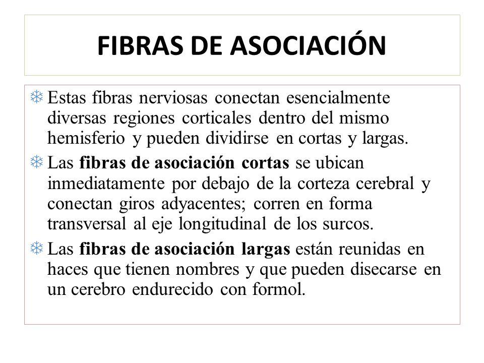 FIBRAS DE ASOCIACIÓN Estas fibras nerviosas conectan esencialmente diversas regiones corticales dentro del mismo hemisferio y pueden dividirse en cort