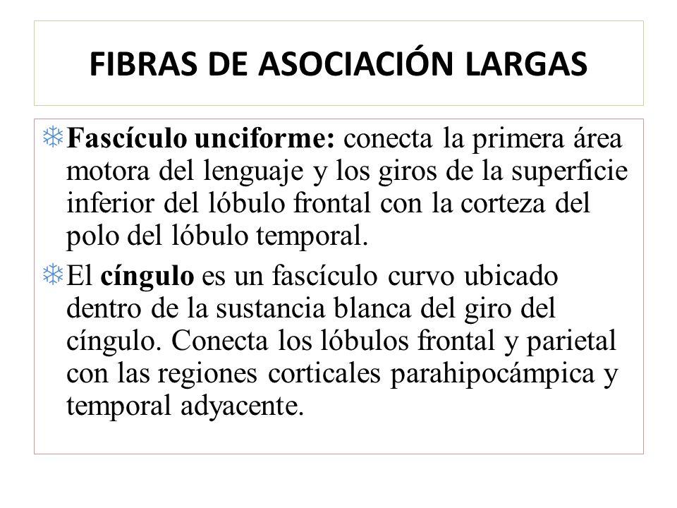 FIBRAS DE ASOCIACIÓN LARGAS Fascículo unciforme: conecta la primera área motora del lenguaje y los giros de la superficie inferior del lóbulo frontal