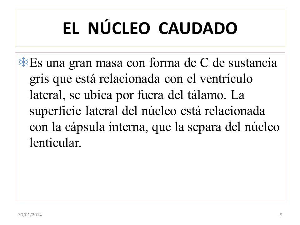 EL NÚCLEO CAUDADO Es una gran masa con forma de C de sustancia gris que está relacionada con el ventrículo lateral, se ubica por fuera del tálamo. La