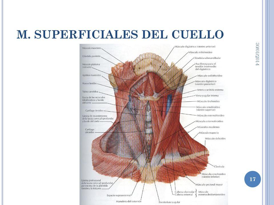 M. SUPERFICIALES DEL CUELLO 30/01/2014 17