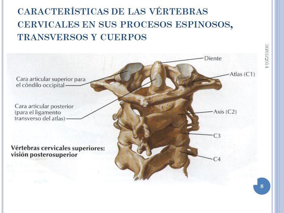 CARACTERÍSTICAS DE LAS VÉRTEBRAS CERVICALES EN SUS PROCESOS ESPINOSOS, TRANSVERSOS Y CUERPOS 30/01/2014 9