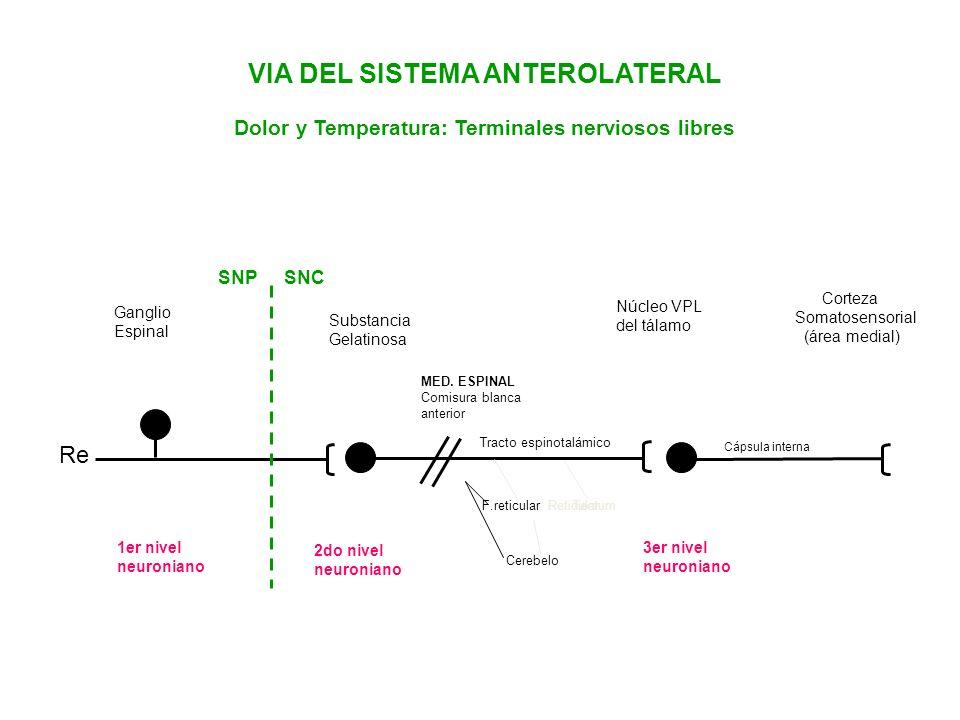 VIA DEL SISTEMA ANTEROLATERAL Dolor y Temperatura: Terminales nerviosos libres Re Núcleo VPL del tálamo Corteza Somatosensorial (área medial) Ganglio