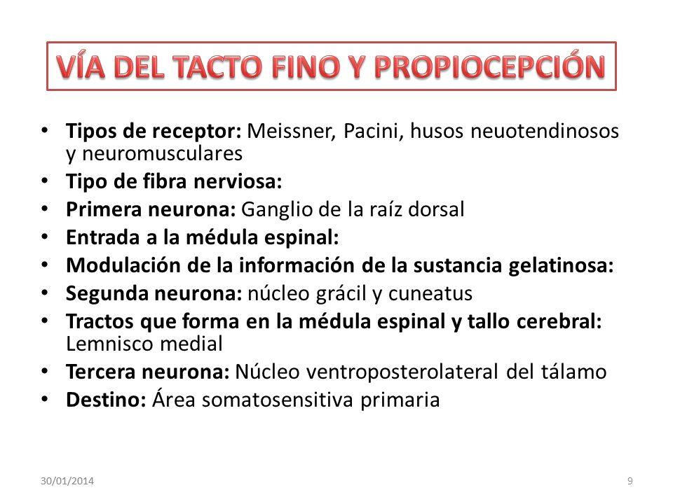 Tipos de receptor: Meissner, Pacini, husos neuotendinosos y neuromusculares Tipo de fibra nerviosa: Primera neurona: Ganglio de la raíz dorsal Entrada