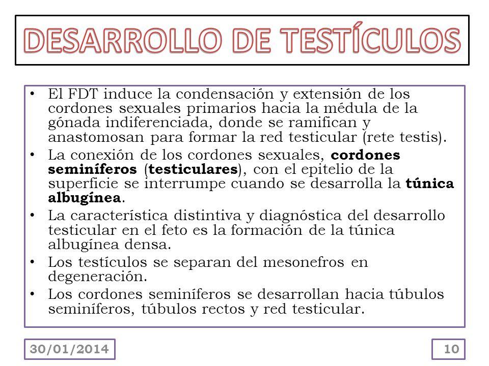 El FDT induce la condensación y extensión de los cordones sexuales primarios hacia la médula de la gónada indiferenciada, donde se ramifican y anastom