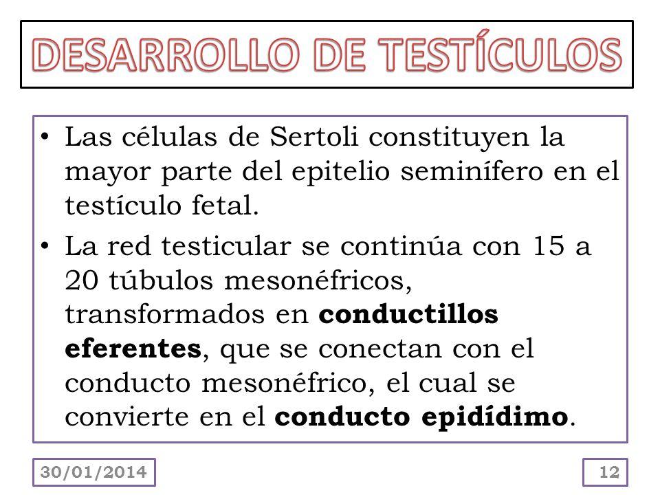 Las células de Sertoli constituyen la mayor parte del epitelio seminífero en el testículo fetal. La red testicular se continúa con 15 a 20 túbulos mes