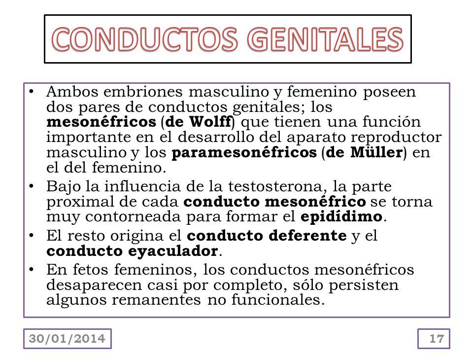Ambos embriones masculino y femenino poseen dos pares de conductos genitales; los mesonéfricos (de Wolff) que tienen una función importante en el desa