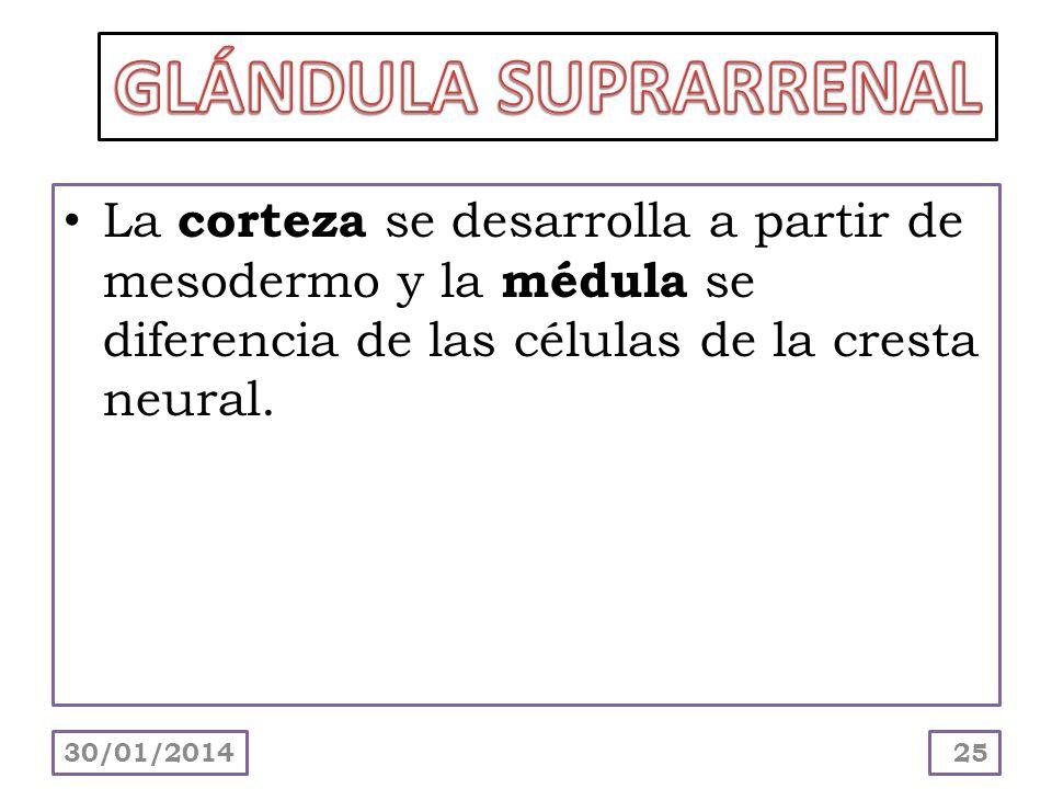 La corteza se desarrolla a partir de mesodermo y la médula se diferencia de las células de la cresta neural. 30/01/201425