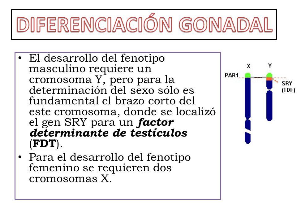 El FDT que regula el cromosoma Y es el que motiva la diferenciación testicular.