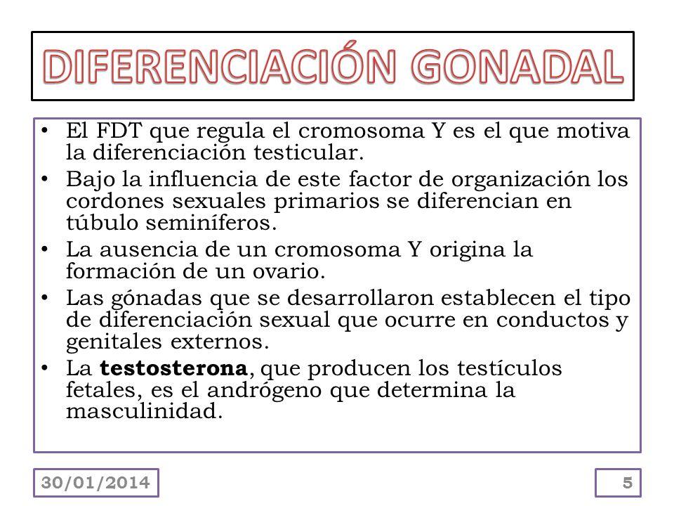 El FDT que regula el cromosoma Y es el que motiva la diferenciación testicular. Bajo la influencia de este factor de organización los cordones sexuale