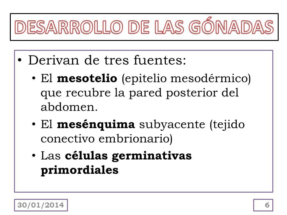 Derivan de tres fuentes: El mesotelio (epitelio mesodérmico) que recubre la pared posterior del abdomen. El mesénquima subyacente (tejido conectivo em