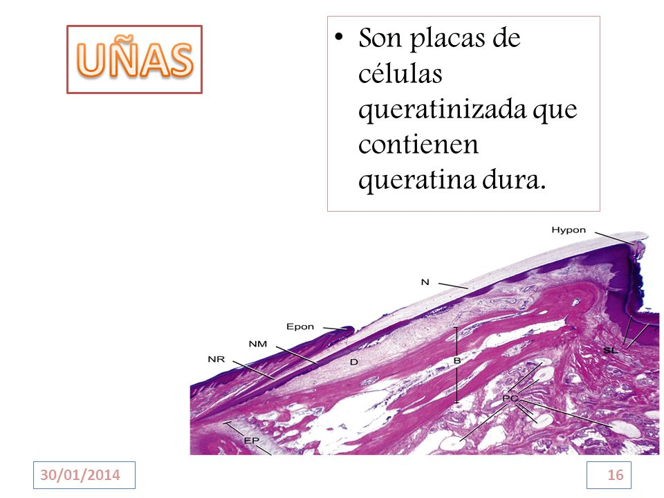 Son placas de células queratinizada que contienen queratina dura. 30/01/201416