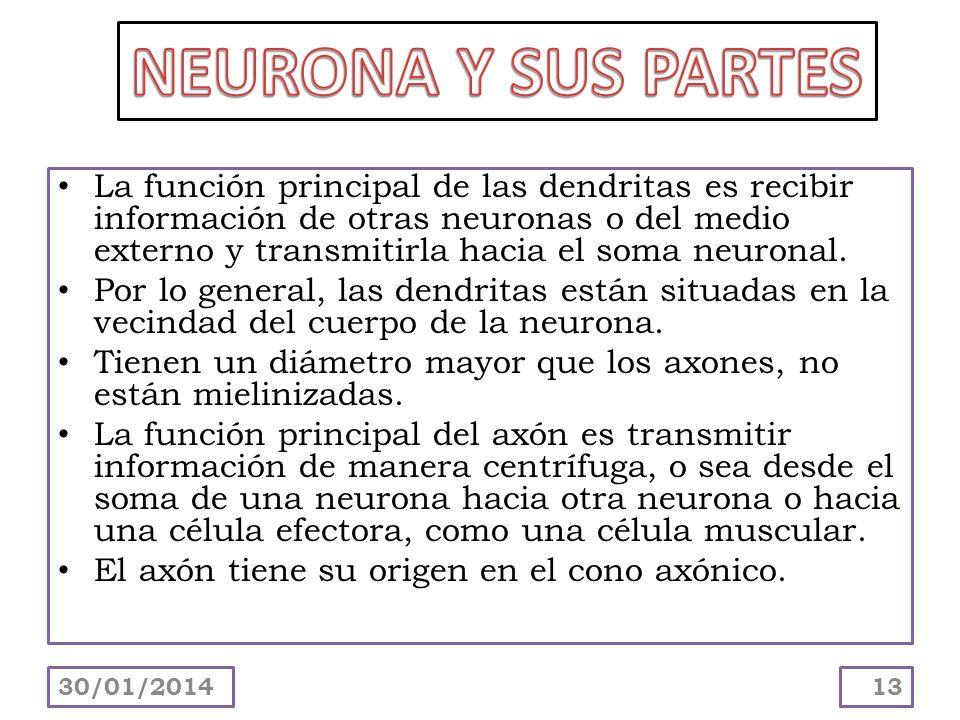 La función principal de las dendritas es recibir información de otras neuronas o del medio externo y transmitirla hacia el soma neuronal. Por lo gener