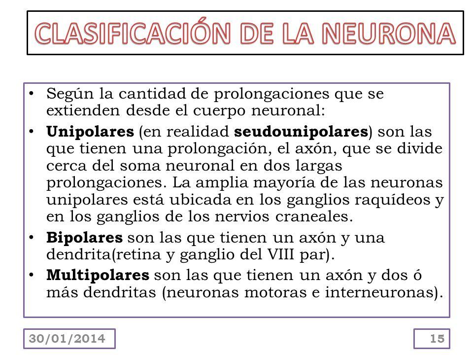 Según la cantidad de prolongaciones que se extienden desde el cuerpo neuronal: Unipolares (en realidad seudounipolares ) son las que tienen una prolon