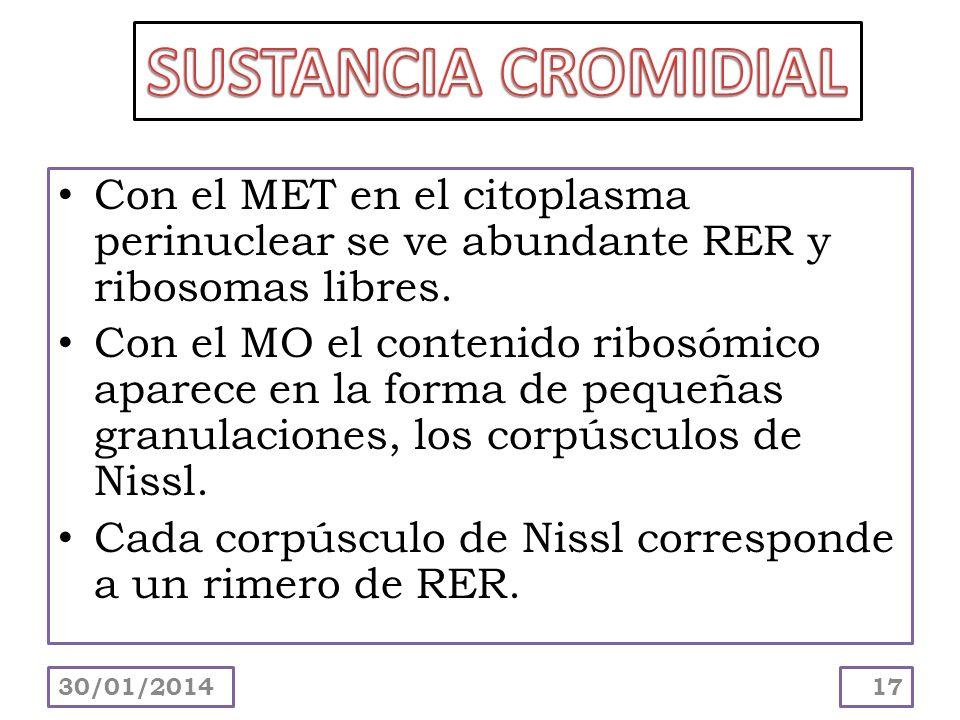Con el MET en el citoplasma perinuclear se ve abundante RER y ribosomas libres. Con el MO el contenido ribosómico aparece en la forma de pequeñas gran
