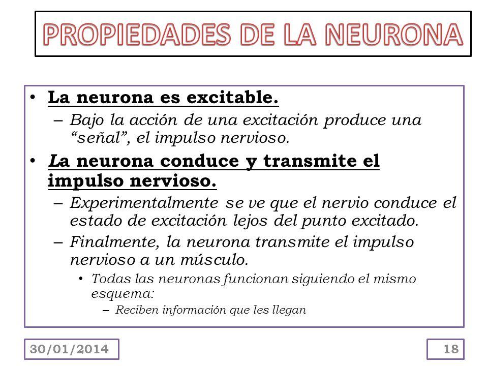 La neurona es excitable. – Bajo la acción de una excitación produce una señal, el impulso nervioso. L a neurona conduce y transmite el impulso nervios