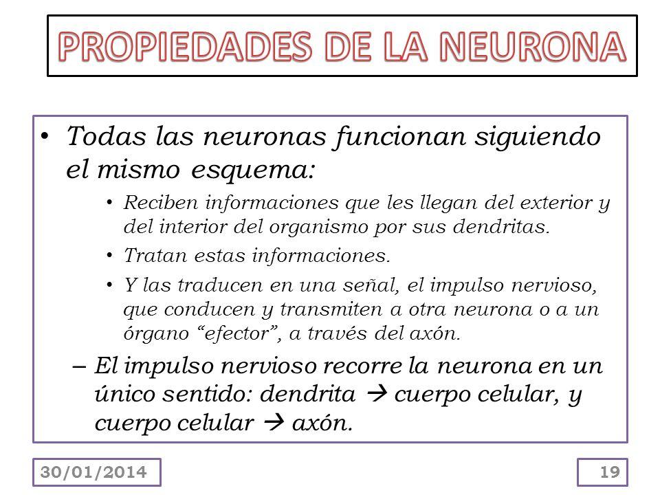 Todas las neuronas funcionan siguiendo el mismo esquema: Reciben informaciones que les llegan del exterior y del interior del organismo por sus dendri