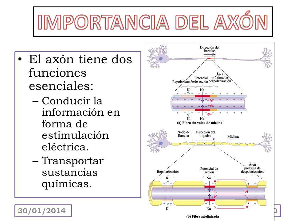 El axón tiene dos funciones esenciales: – Conducir la información en forma de estimulación eléctrica. – Transportar sustancias químicas. 30/01/201420