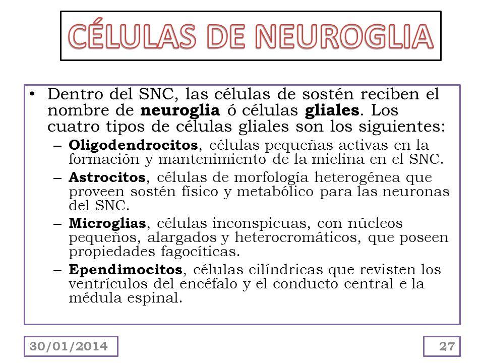 Dentro del SNC, las células de sostén reciben el nombre de neuroglia ó células gliales. Los cuatro tipos de células gliales son los siguientes: – Olig