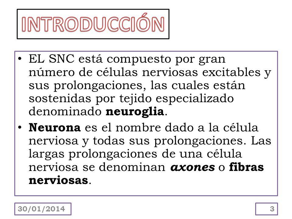 EL SNC está compuesto por gran número de células nerviosas excitables y sus prolongaciones, las cuales están sostenidas por tejido especializado denom
