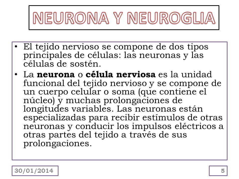 El tejido nervioso se compone de dos tipos principales de células: las neuronas y las células de sostén. La neurona o célula nerviosa es la unidad fun
