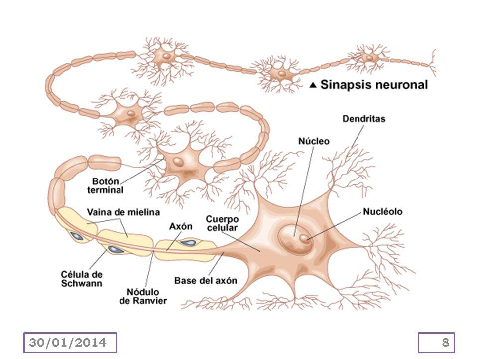 Las neuronas se comunican con otras neuronas y con células efectoras por medio de sinapsis.