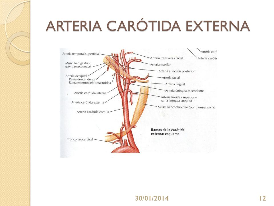 ARTERIA CARÓTIDA EXTERNA 30/01/201412