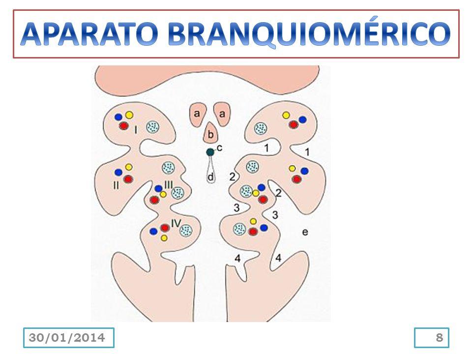 En gran parte, estas estructuras primitivas del embrión contribuyen en la formación de la cabeza y el cuello.