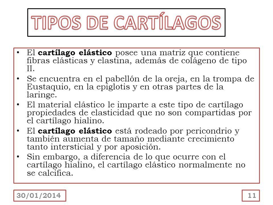 El cartílago elástico posee una matriz que contiene fibras elásticas y elastina, además de colágeno de tipo II. Se encuentra en el pabellón de la orej