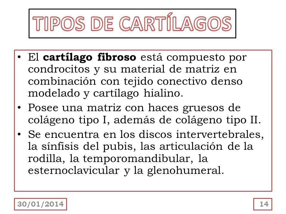 El cartílago fibroso está compuesto por condrocitos y su material de matriz en combinación con tejido conectivo denso modelado y cartílago hialino. Po