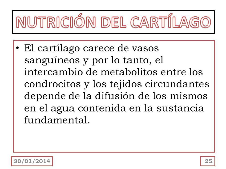 30/01/201425 El cartílago carece de vasos sanguíneos y por lo tanto, el intercambio de metabolitos entre los condrocitos y los tejidos circundantes de